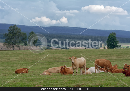 Herd of cows stock photo, Herd of cows on pasture in zhe mountains. by neryx