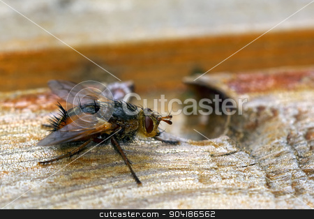 Fly on wood stock photo, Pretty hairy flies sitting on wood. by neryx