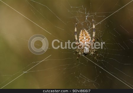 Spider in network stock photo, Cross spider sitting in their network. by neryx
