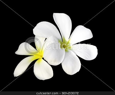 Two white plumeria flowers stock photo, Two white plumeria flowers isolated on black with clipping path by manusy
