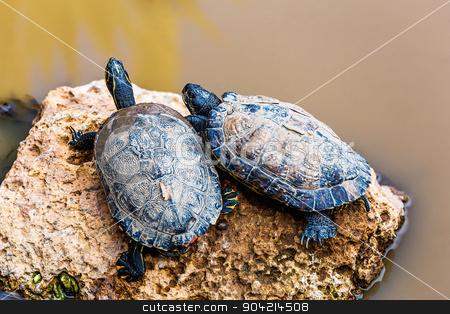 Turtles or tortoises stock photo, Turtles or tortoises on stone on swamp by Sergei