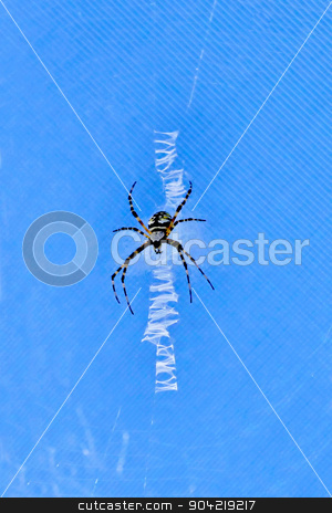 Black and Yellow Argiope Spider stock photo, A Black and Yellow Argiope Spider on a web by Lucy Clark