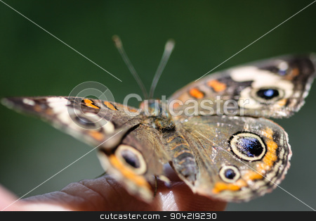Common Buckeye Junonia Coenia stock photo, A colorful Common Buckeye Junonia Coenia butterfly. by Henrik Lehnerer