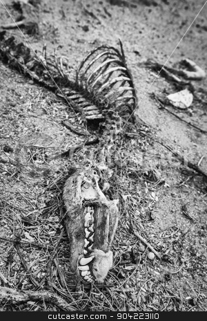 Black and White Coyote Bones stock photo, Head and other bones of dead coyote in the desert by Scott Griessel