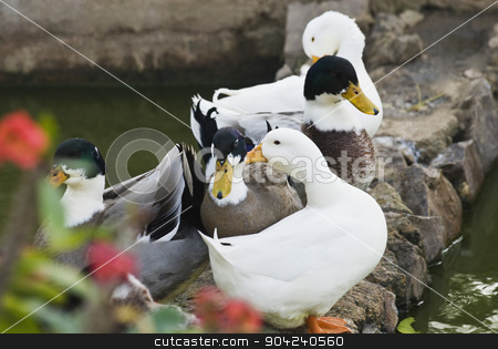 pims_20090121_ps0455 stock photo, Close-up of five ducks in the pond, New Delhi, India by imagedb