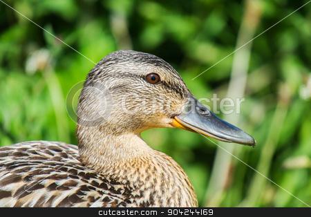 female mallard duck close up stock photo, female mallard duck close up of head in profile by sijohnsen