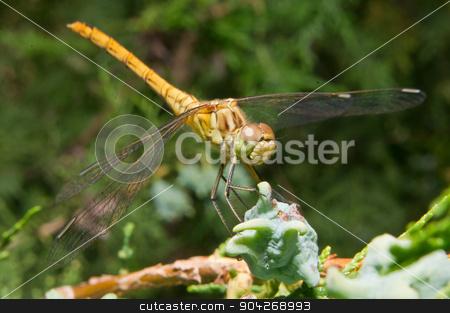Dragonfly (Odonata) stock photo, Dragonfly (Odonata) les prey among the Thuja by dadalia