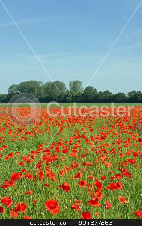 Poppy field stock photo, A blooming poppy field in spring, cloudless sky by Harry Huber