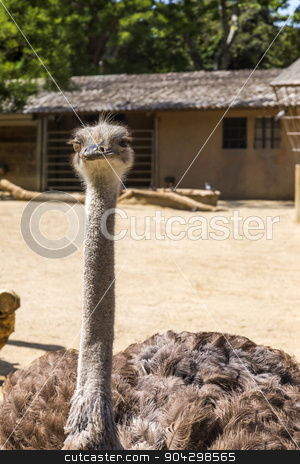 Close-up of a ostrich (Struthio camelus) in a zoo stock photo, Close-up of a ostrich (Struthio camelus) in a zoo, Barcelona Zoo, Barcelona, Catalonia, Spain by imagedb