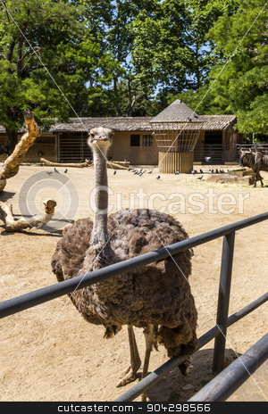 Ostrich (Struthio camelus) in a zoo stock photo, Ostrich (Struthio camelus) in a zoo, Barcelona Zoo, Barcelona, Catalonia, Spain by imagedb