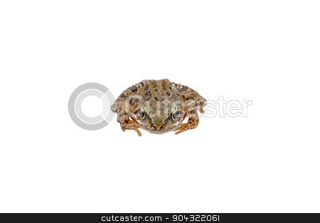 Frog on white background stock photo, European frog on white background by neryx