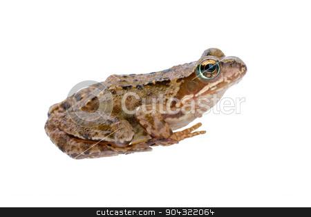 Sitting frog stock photo, European frog on white background by neryx