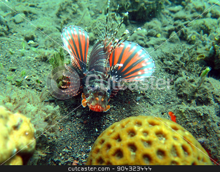Lionfish (pterois) on coral reef Bali. stock photo, Lionfish (pterois) on coral reef Bali. by aarrows