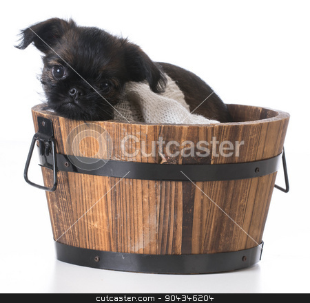cute puppy stock photo, cute puppy - brussels griffon inside a wooden bucket on white background by John McAllister