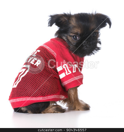 cute sports puppy stock photo, young brussels griffon puppy wearing red sports jersey on white background by John McAllister