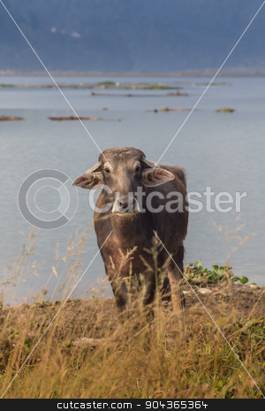 Portrait of domestic buffalo in Nepal stock photo, Portrait of domestic buffalo in Nepal 2 by Vassiliy Kochetkov
