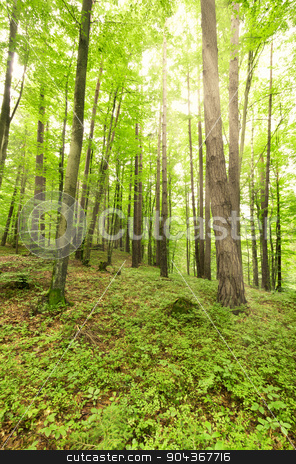 Sun through Trees in the Forest stock photo, Sun through Trees in the Forest by enricoagostoni
