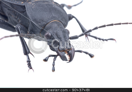 Detail view of head of the black bug on a white background stock photo, Detail view of head of the black bug isolated on a white background by neryx