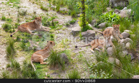 Large lions in green environment stock photo, Large lions in a bright green environment by michaklootwijk