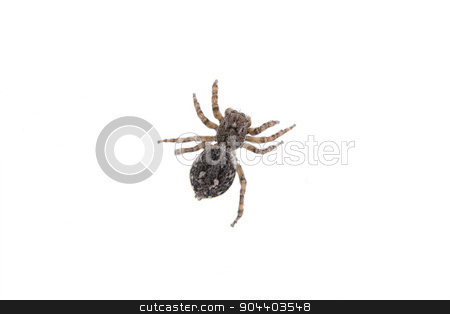 Brown spider on a white background stock photo, Brown spider isolated on a white background by neryx