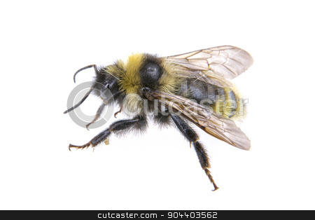 Bumble-bee on a white background stock photo, Bumble-bee isolated on a white background by neryx