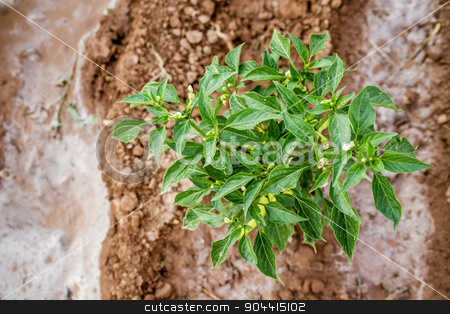 Green Chili Pepper Plant stock photo, Green chili pepper plant with ripening fruits in field by OZMedia