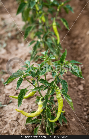 Green Chili Pepper Plant stock photo, Green chili pepper plant with ripening fruits in the field by OZMedia