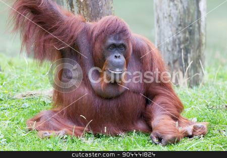 Orang utan stock photo, Orang utan resting  in it's natural habitat by michaklootwijk