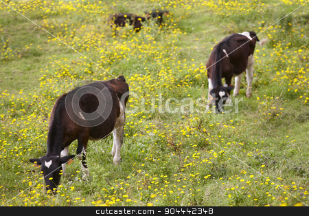 Registered young cows grazing in the countryside. Azores. Portug stock photo, Registered young cows grazing in the countryside. Azores. Portugal. Horizontal by ABBPhoto