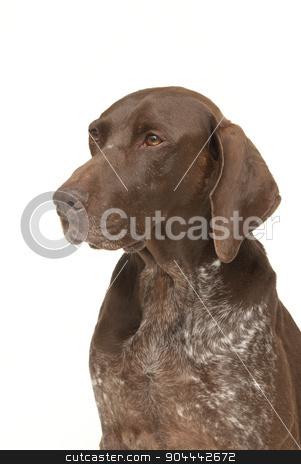 Labrador retriever portrait stock photo, Labrador retriever dog on a white background by Christian Delbert