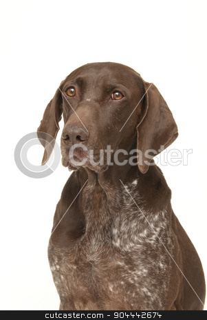 Labrador retriever portrait stock photo, Labrador retriever dog on a white background by Christian Delbert