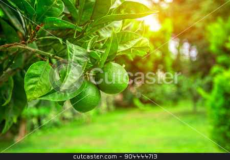 Lime tree stock photo, Lime tree with fruits closeup by olinchuk