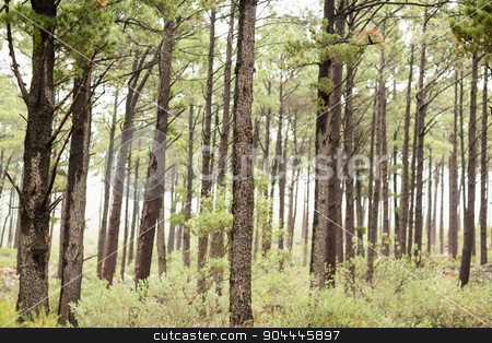 View of a forest in the mist stock photo, View of a forest in the mist in the nature by Wavebreak Media