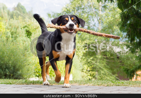 Sennenhund playing with long branch stock photo, Young Sennenhund, playing with long branch, playfull look in eyes by michaklootwijk
