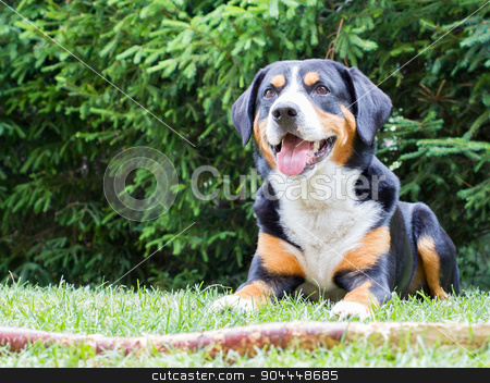 Sennenhund waiting for his boss to play with him stock photo, Young Sennenhund waiting for his boss to play with him by michaklootwijk