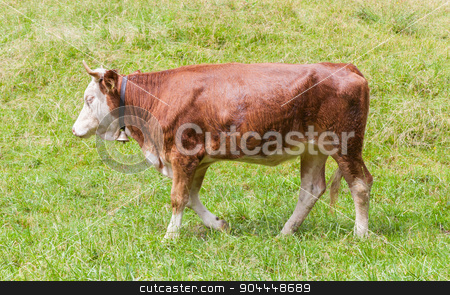 Brown milk cow in a meadow of grass stock photo, Brown milk cow in a meadow of grass, Alps, Switzerland by michaklootwijk