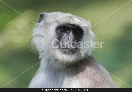 Grey Langur (Semnopithecus Schistaceus) stock photo, Grey Langur (Semnopithecus Schistaceus), close-up, enjoying the sun by michaklootwijk