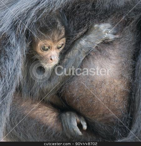 Spider monkey (Ateles fusciceps) stock photo, Spider monkey (Ateles fusciceps), infant and it's mother by michaklootwijk