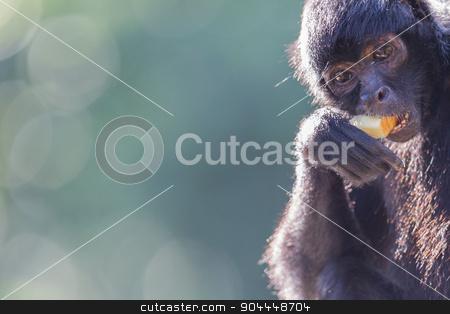 Spider monkey (Ateles fusciceps) stock photo, Spider monkey (Ateles fusciceps) eating a piece of fruit by michaklootwijk