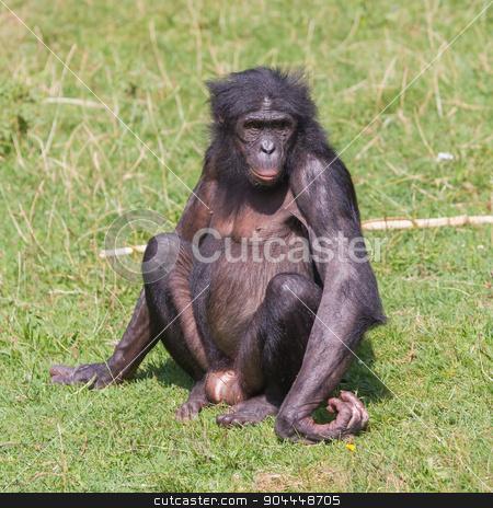 Adult bonobo  stock photo, Adult bonobo sitting on the green grass by michaklootwijk