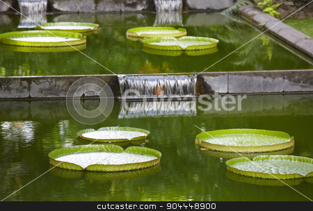 Giant green water llilies floating on a pond stock photo, Giant green water lilies floating on a pond. Horizontal by ABBPhoto