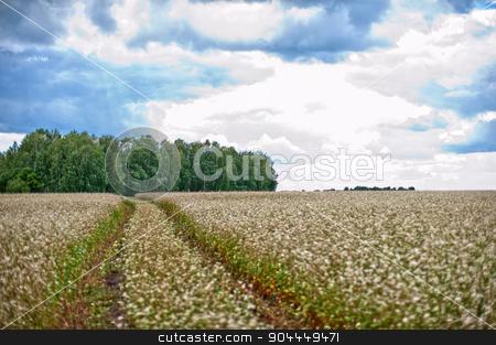 Buckwheat field and road stock photo, Buckwheat field with road, summer scene by olinchuk