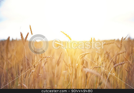 wheat field stock photo, ripening ears of wheat field, shallow depth of field by olinchuk