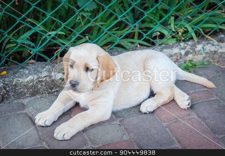 Labrador retriever puppy in the yard stock photo, Labrador retriever puppy in the yard. by timonko