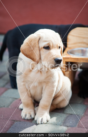 Labrador retriever puppy in the yard stock photo, Labrador retriever puppy in the yard. by timonko