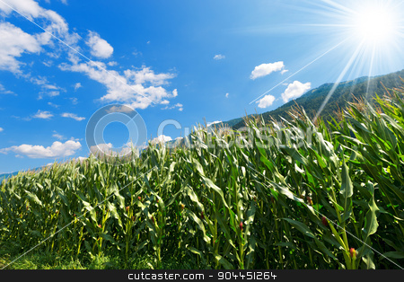 Green Corn Field in Mountain - Trentino Italy stock photo, Green corn field in mountain under blue sky with clouds and sun rays. Trentino Alto Adige, Italy by catalby