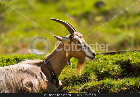 Mountain Goat on the Green Grass stock photo, One mountain goat with horns resting on a green pasture in summer. Trentino Alto Adige, Italy by catalby