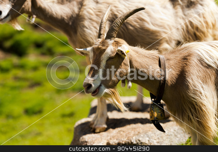 Mountain Goat with horns - Italy stock photo, Mountain goat with eyes closed, horns and cowbell. Italian Alps by catalby