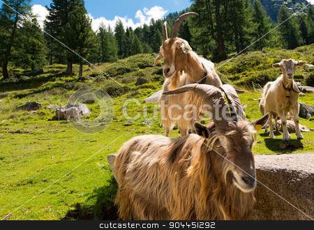 Mountain Goats in Alpine Landscape - Italy stock photo, Group of mountain goats looking the camera. Alpine landscape in the background by catalby