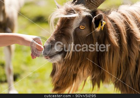 Mountain Male Goat and Human Hand stock photo, Brown and white billy goat with long fur and horns sniffs a human hand by catalby